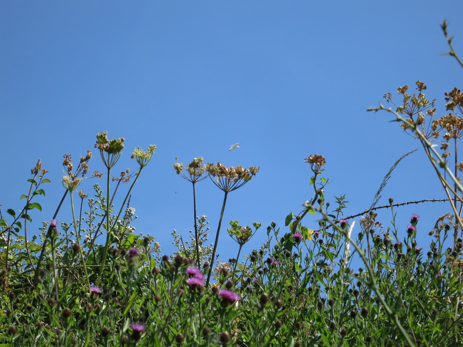 White, umbelliferous flowers turning to seed against a clear blue sky with a single gull