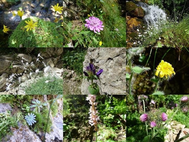 Flori in luna august pe Valea Horoabei, muntii Bucegi