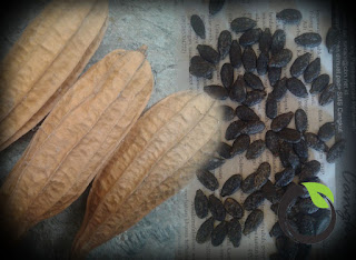 Membuat benih oyong/emes sendiri