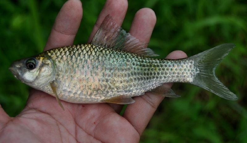 klasifikasi ikan tawes (puntius javanicus)