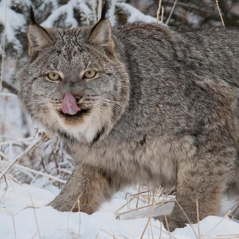 A Female Canada Lynx