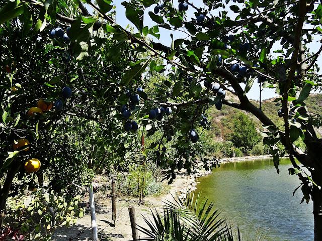 Grecja, pomarańcze, gaje, owocujące drzewa, gdzie zobaczyć?