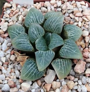 Haworthia jadea - Leeublad