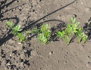7 июня, ростки морковки