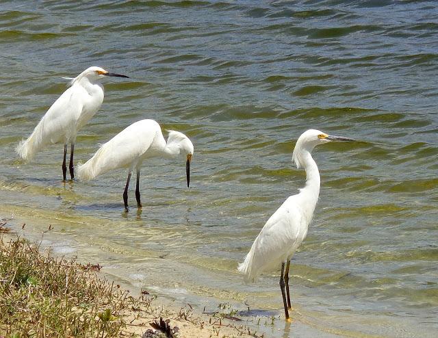 Three snowy egrets at lake's edge