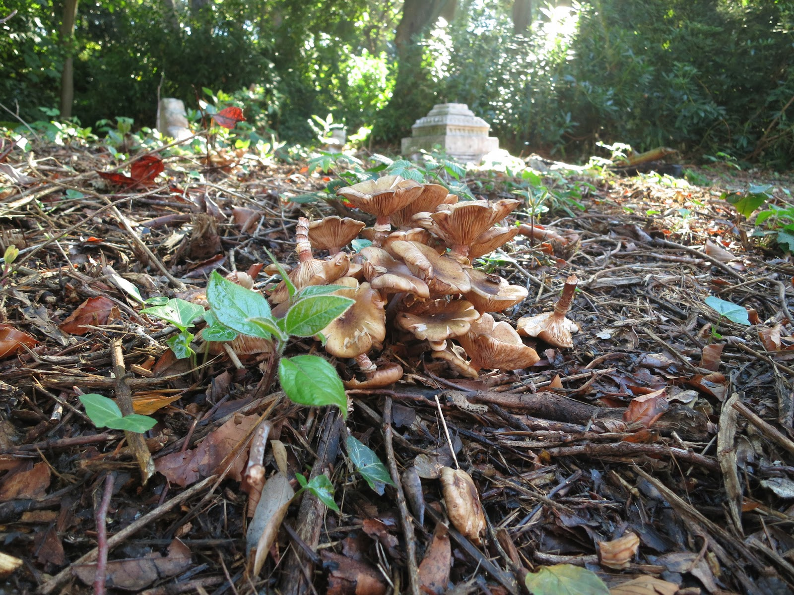 Brown fungi and contoneaster (?) seedling in foreground. Tomb below trees.