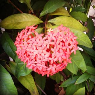 Gambar Bunga Asoka Berbagai Warna 1