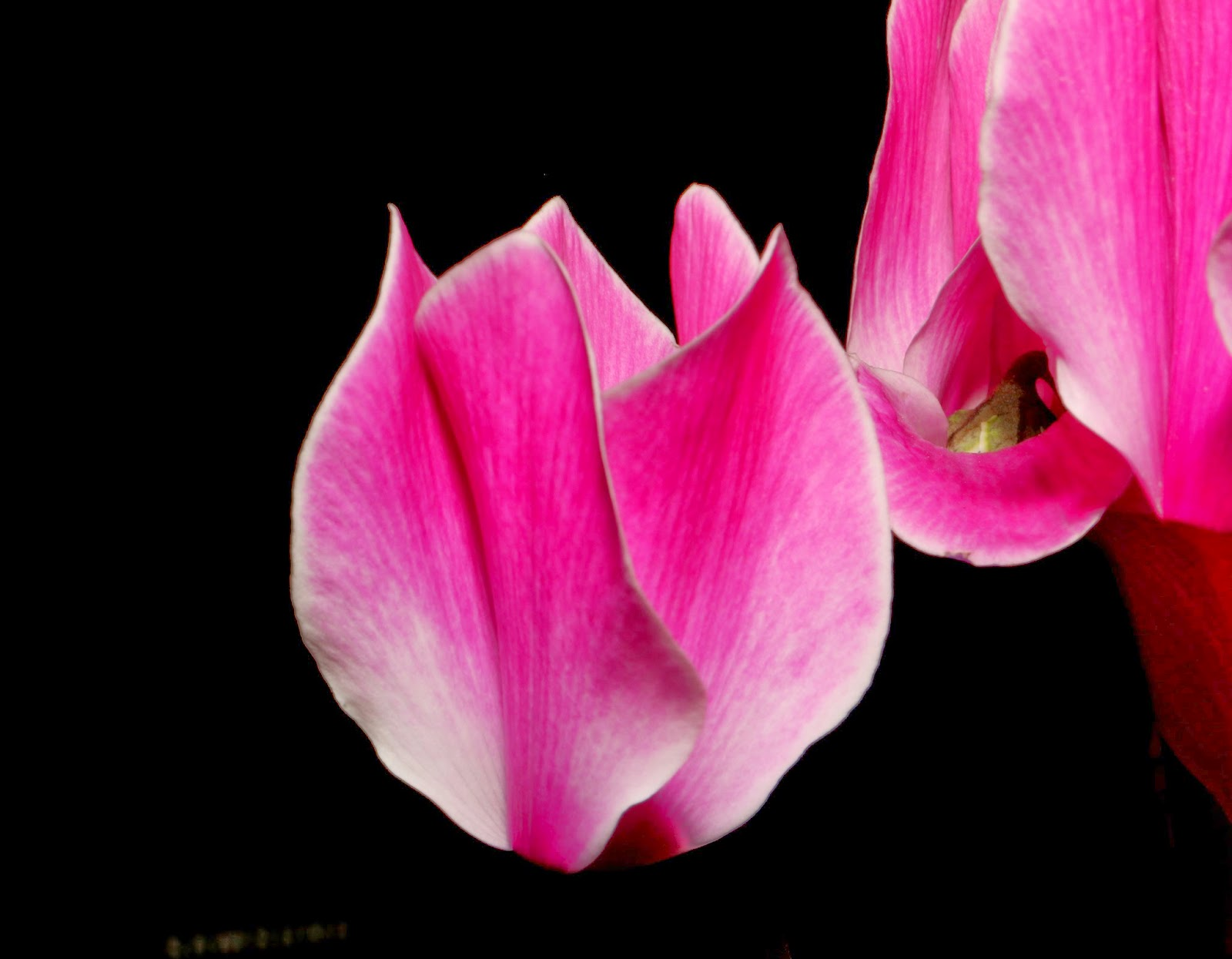 Cyclamen Flower Photo Project: With Canon EOS 70D and EF-S 18-135mm IS STM Lens Photo: © Vernon Chalmers