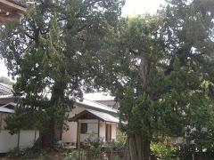大慶寺のビャクシン