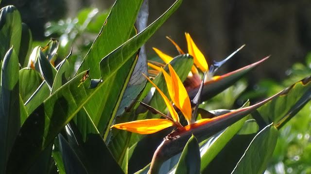 Padaiesvogelpflanze