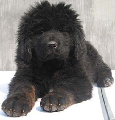 Tibetan Mastiff (Zang'Ao) Information and Pictures | Dogs ...