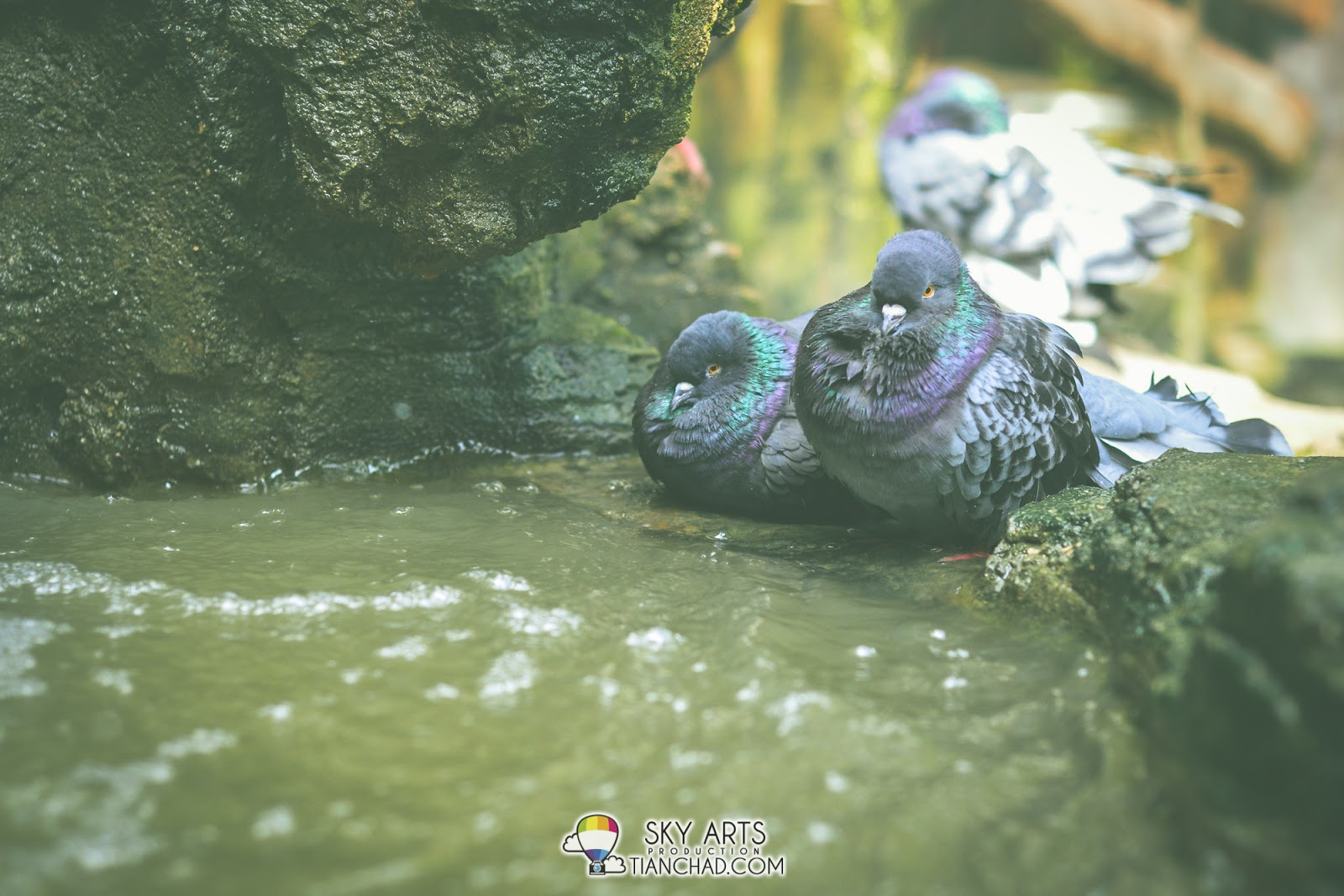 Fat cheek pigeons resting on the edge o flowing water