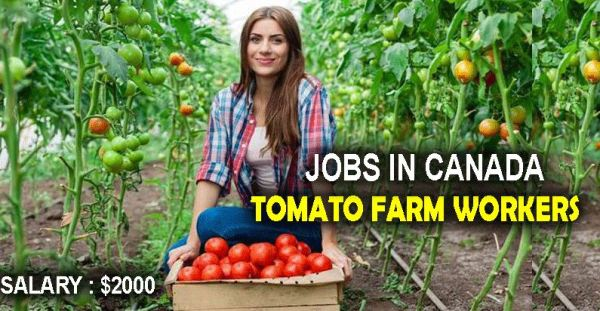 Tomato Farm Workers Needed In Canada With Free Visa - Apply Now