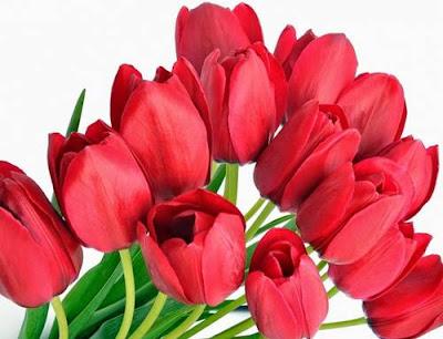 Wallpaper Bunga Tulip merah indah banget