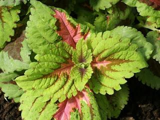 Plectranthus scutellarioides Solenostemon scutellarioides 'Kong Rose' - Coleus 'Kong Rose'