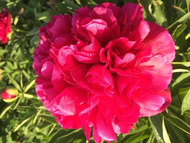 Pfingstrosen Blüte