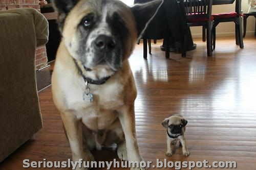 Big Dog and Mini Me Dog - Super Cute Funny!