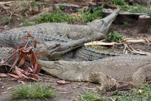 Freshwater Crocodiles At Cairns Tropical Zoo