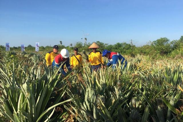 Lahan Nanas Riau