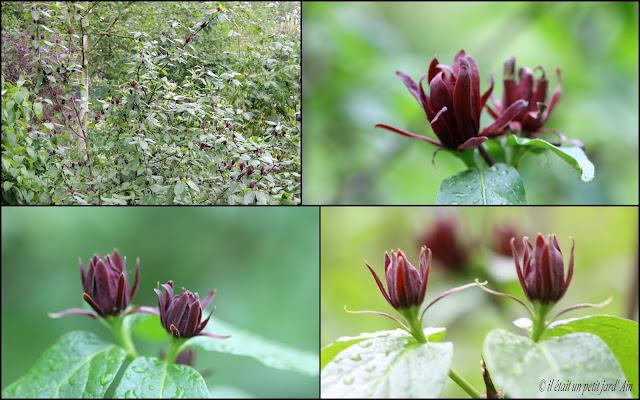 floraison printanière pourpre