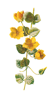 flower image moneywort botanical art wildflower