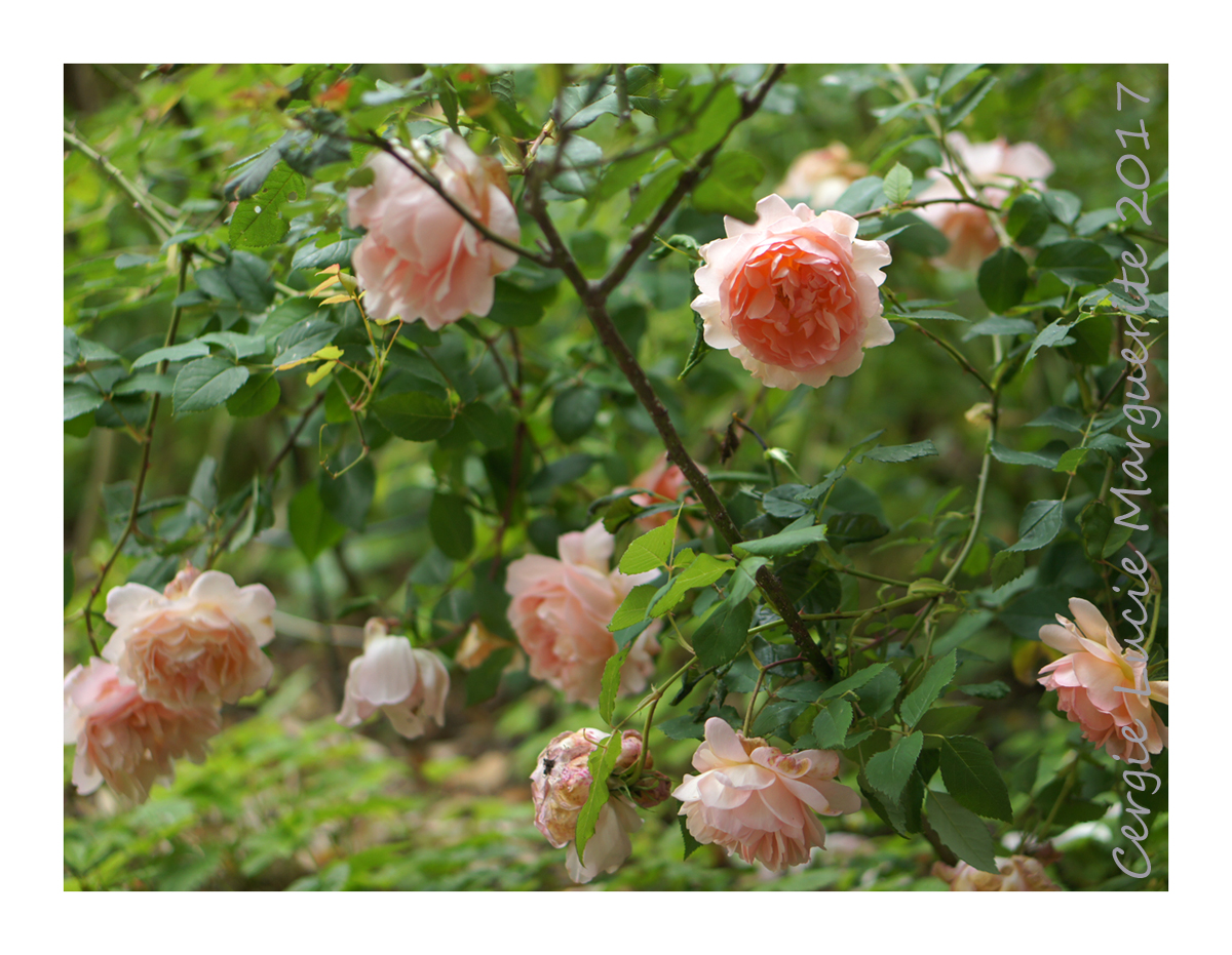 Jardin de marguerite - Iris ne fleurissent pas ...