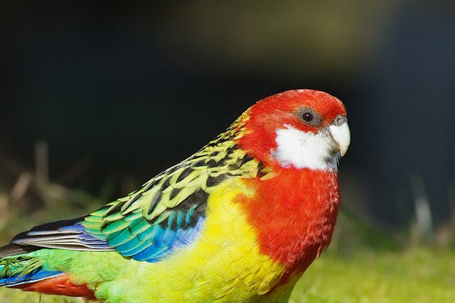 17 Different Types of Parrots -With Images and Explanation - Different Species of Parrots