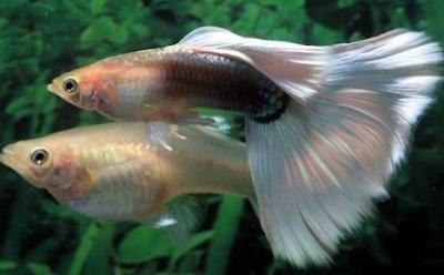 Tips cara mudah menjodokan ikan gapi
