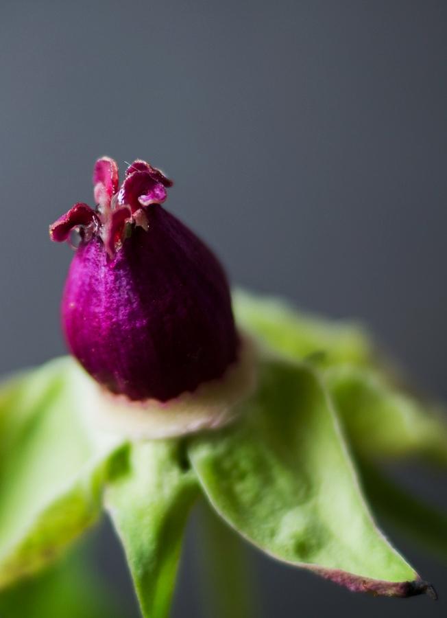 Blog + Fotografie by it's me! | fim.works | Bunt ist die Welt | Blumen | Stempel und welke Blätter einer rosa-fliederfarbenen Bauernpfingstrose