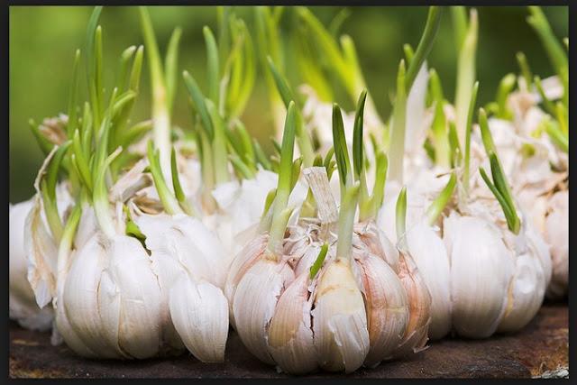 Macam Macam Perkembangbiakan Tumbuhan secara Vegetatif dan Contoh Tumbuhannya