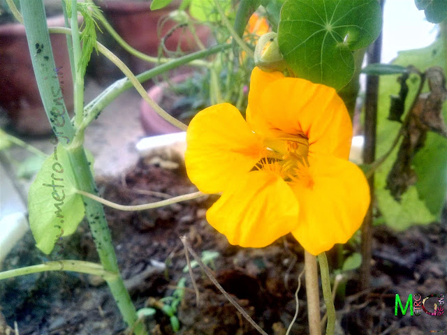 Metro Greens: Yellow Nasturtium Bloom