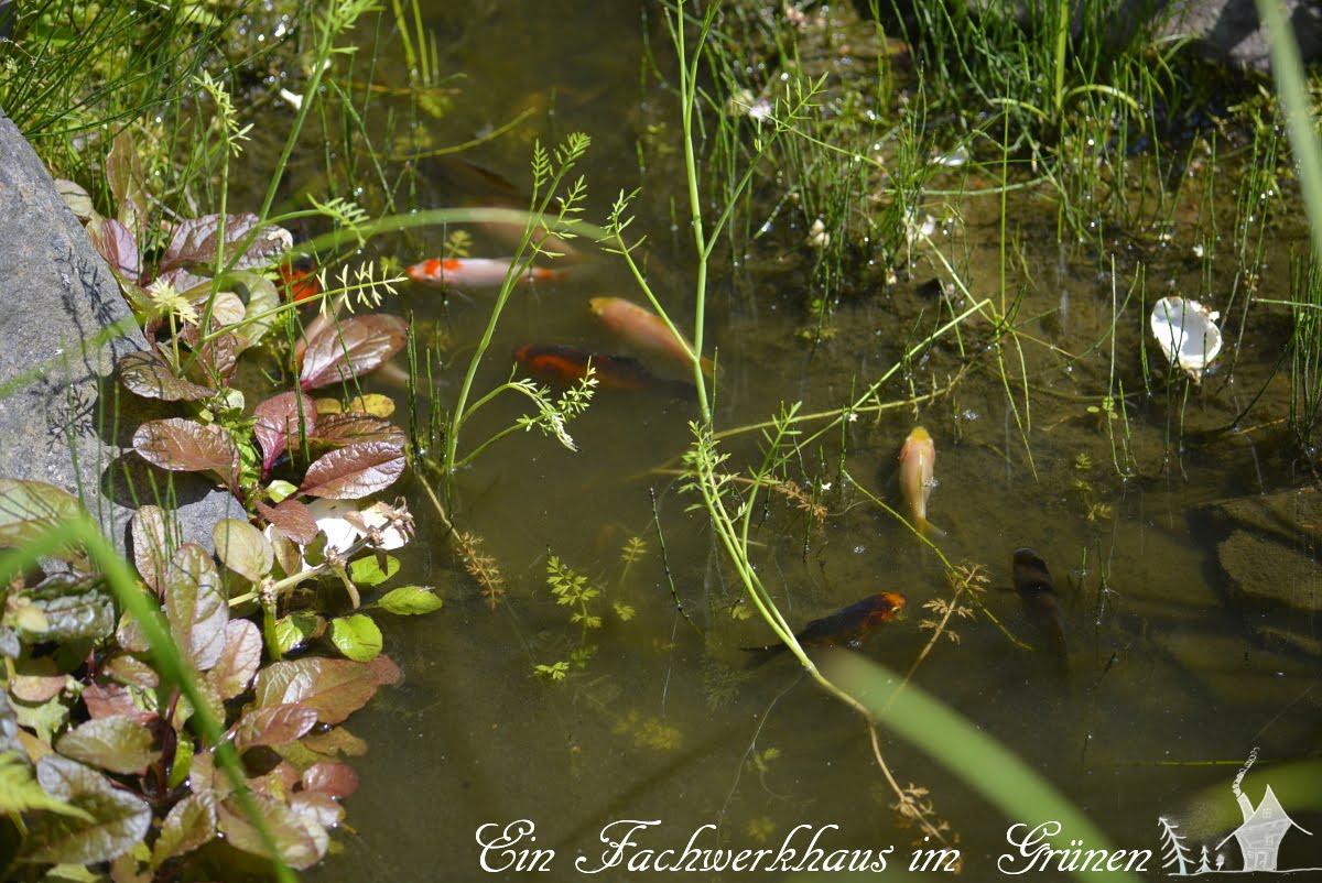 Goldfische, Gartenteisch