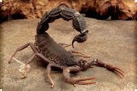 скорпион жалит человека