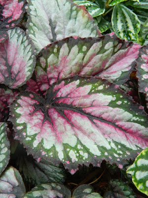 Plum Paisley Begonia at the Allan Gardens Conservatory 2018 Spring Flower Show by garden muses-not another Toronto gardening blog