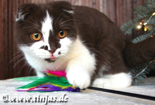 Scottish Fold Katzenzucht Martina Gottwald