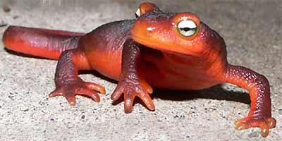 Amphibians: Newt, Taricha torosa
