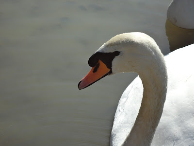 A Close up picture of a Swan on the Blue Lagoon in Bletchley