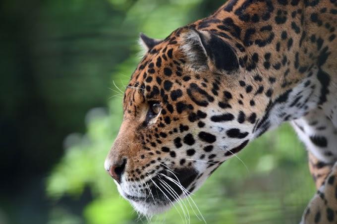EUA: Mulher atacada por um jaguar num jardim zoológico quando se preparava para tirar uma fotografia