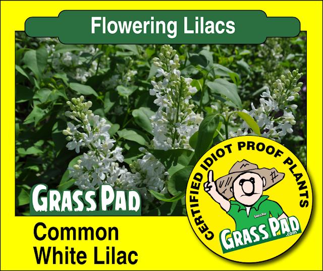 Common White Lilac