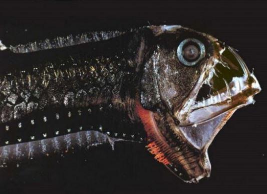 Ikan Unik Viper Pasifik