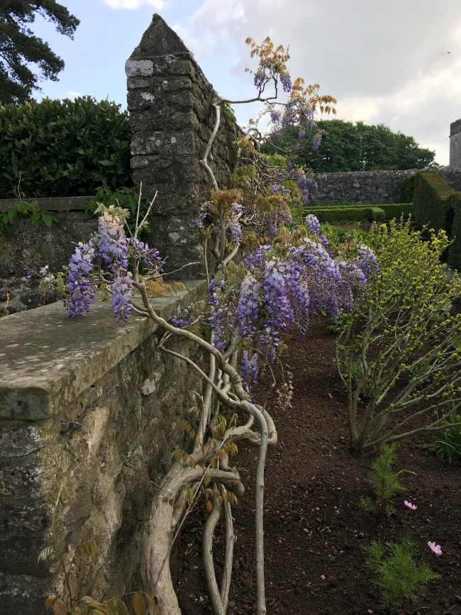 wisteria-on-wall-St-Fagans-Castle-and-gardens