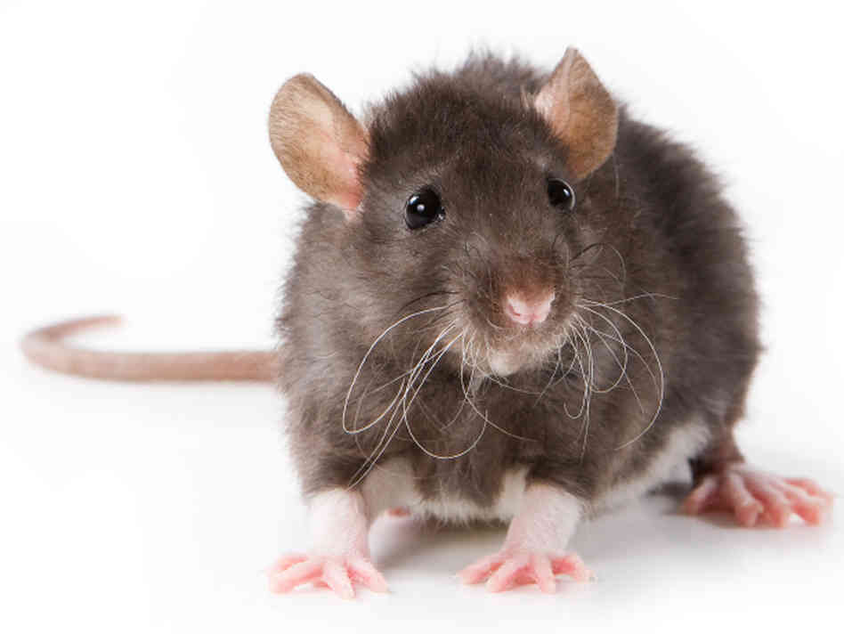 Pest Control for Rat