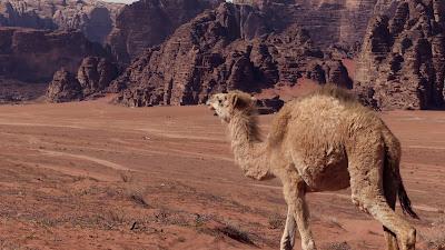 Wadi Rum wielbłądy