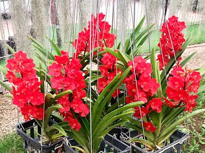 Ascocentrum Sagarik Gold x Ascocentrum curvifolium
