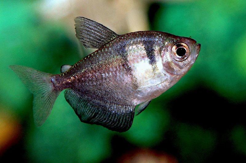 Ikan Yang Peka Terhadap Garam Ikan Atau Garam Akuarium-Tetra Hitam