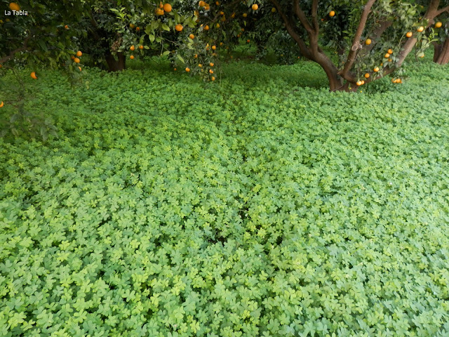 alfombra de Oxalis pes-caprae en campo de naranjos