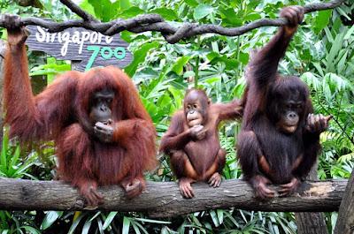 Singapore Zoo Tempat Wisata di Singapura : tempatwisata.biz.id