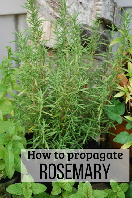 You can propagate rosemary from cuttings with these tips.