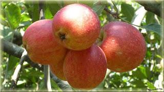 gambar buah apel rome beauty