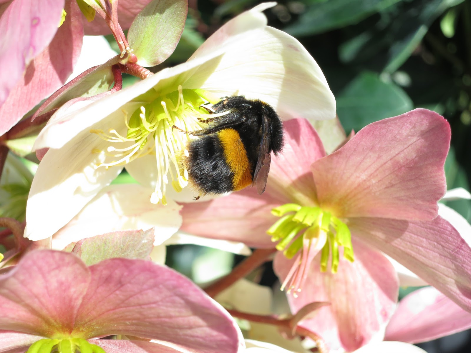 Bumble bee (Buff tailed?) on hellebore flowers